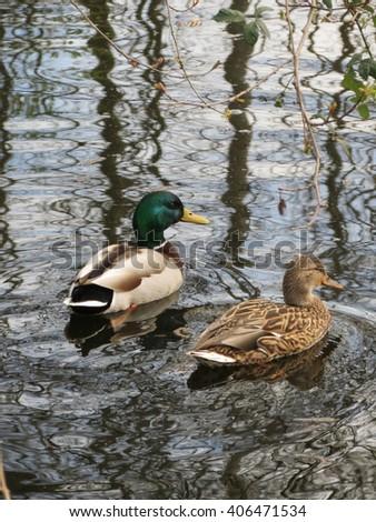 Pair of Ducks on Pond - stock photo