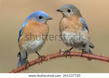 Pair of Eastern Bluebird (Sialia sialis) perched on a blackberry bush - stock photo