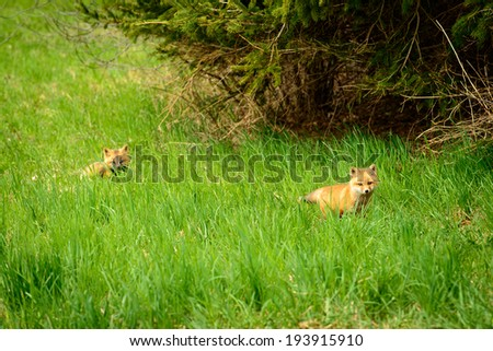 Pair of Fox cubs in a field os long green grass - stock photo