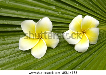 Pair of frangipani on palm leaf background - stock photo