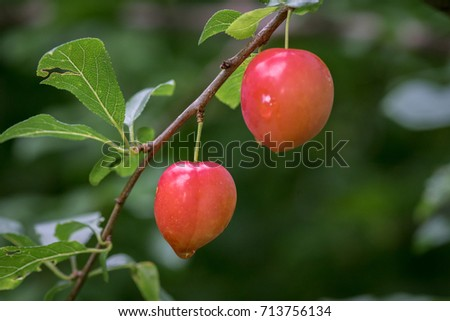 Pair of fresh red plums still hanging in the tree ready to be harvested