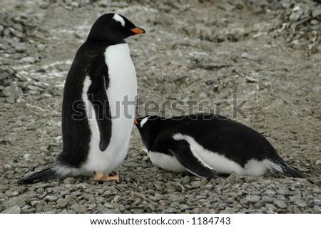 Pair of gentoo penguins - stock photo