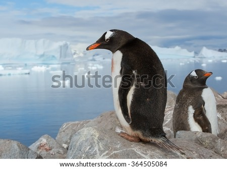 Pair of Gentoo penguins resting on the rock with icy blue background, Antarctica - stock photo