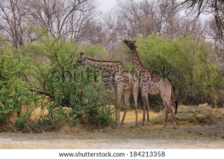 Pair of giraffes in loving stance, Moremi game reserve, Botswana - stock photo