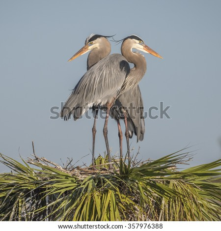 Pair of Great Blue Herons (Ardea herodias) perched on their nest at the top of a palm tree - Melbourne, Florida - stock photo