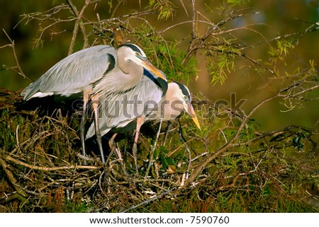 pair of great blue herons at nest