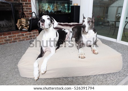 Pair of Great Danes on dog bed in a home.