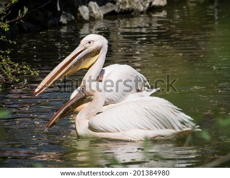 Pair of Great white pelicans (Pelecanus onocrotalus) on the lake. - stock photo