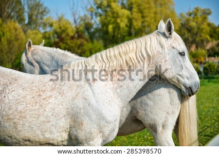 Pair of grey horses standing nose to tail in a a lush green field, close up view of the head and flank of one horse - stock photo