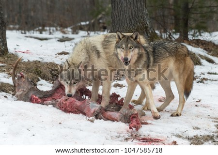 Pair of Grey Wolves (Canis lupus) Look Up From White-Tail Deer Carcass - captive animals