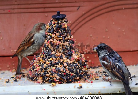 Pair of House Sparrows (Passer domesticus) feeding on bird seed on wet, rainy day.