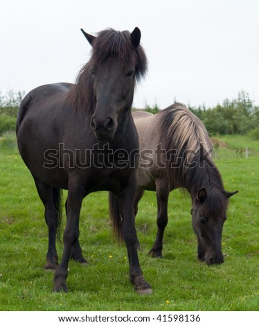 pair of Icelandic horses on a meadow