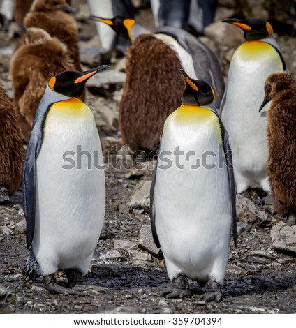 Pair of King Penguins at Salisbury Plain - stock photo