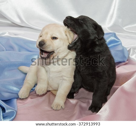 Pair of Labrador retriever puppies playing.