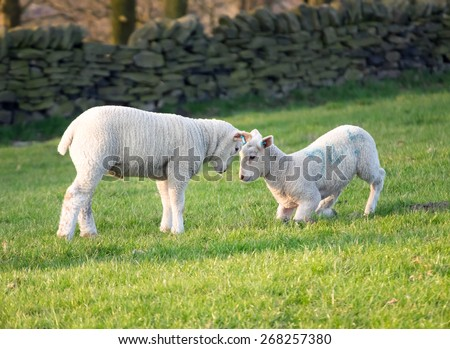 Pair of lambs playing in filed - stock photo