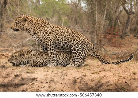 Pair of Leopards Mating - Sabi Sands Game Reserve, South Africa