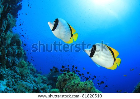 Pair of Lined Butterflyfish (Chaetodon lineolatus) - stock photo
