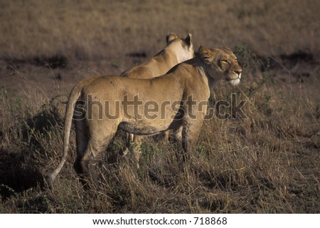 Pair of lionesses (Panthera leo) after wildebeest kill - Maasai Mara, Kenya