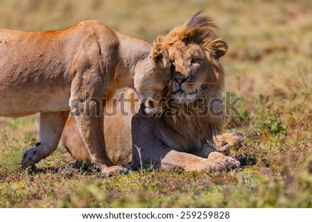 Pair of Lions cuddle in the heat of Ngorongoro Conservation Area in Tanzania - stock photo