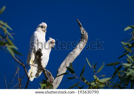 Pair of Little Corellas (Cacatua sanguinea) perched in outback New South Wales, Australia - stock photo