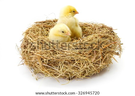 Pair of little newborn yellow chickens in hay nest
