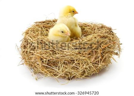Pair of little newborn yellow chickens in hay nest - stock photo