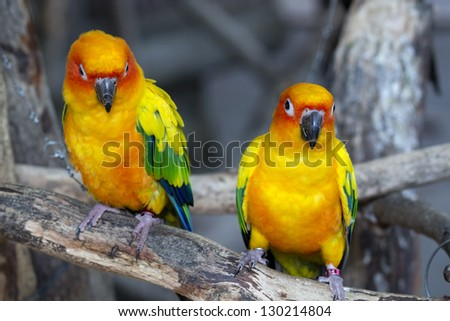 Pair of lovebirds agapornis - stock photo
