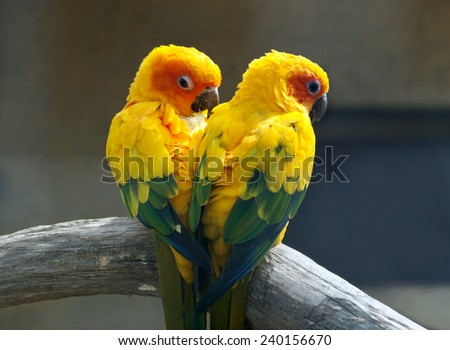 Pair of lovebirds sitting on a branch - stock photo