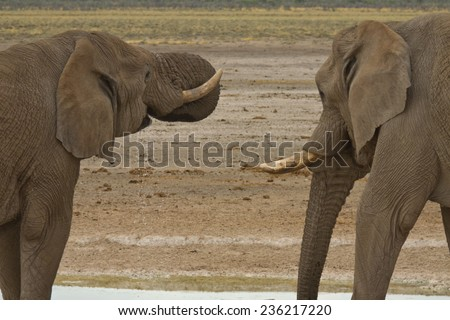 Pair of male African Elephants drinking at waterhole, Etosha National Park, Namibia - stock photo