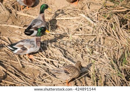 Pair of Mallard Ducks stand next to a pond - stock photo