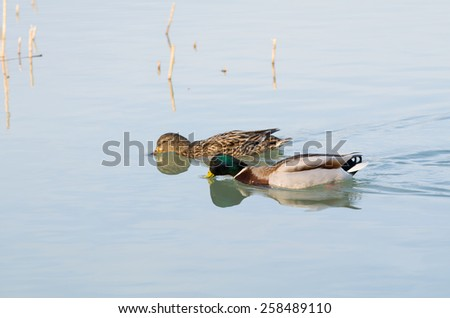 Pair of Mallard Ducks Swimming in Balaton Lake - stock photo