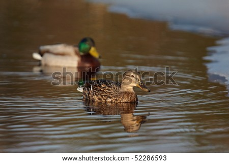 Pair of Mallard on the icy pond