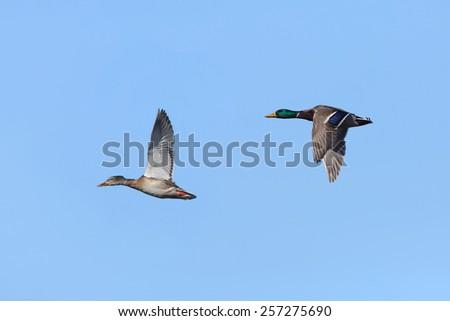 Pair of Mallards (Anas platyrhynchos) in Flight Against a Blue Sky - stock photo