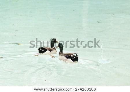pair of mallards real bird - stock photo