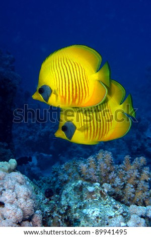 Pair of Masked butterflyfish - stock photo