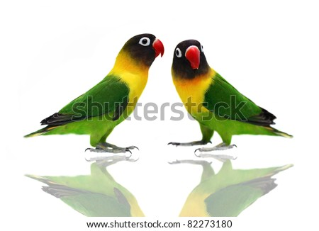 Pair of Masked Lovebird natural coloring on the white background - stock photo