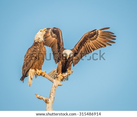 Pair of mating American Bald Eagles on branch - stock photo
