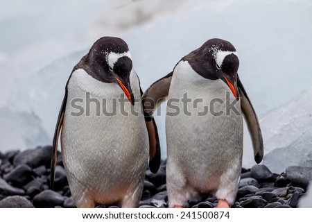 Pair of mating penguins in Antarctica - stock photo