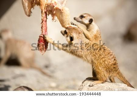 Flesh-eating animal St...