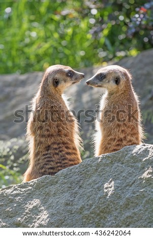Pair of Meerkats is sitting on a rock in the upright position and look on each other: Vertically.  - stock photo