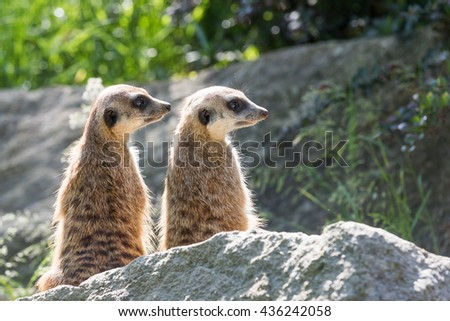 Pair of Meerkats is sitting on a rock in the upright position and looking to the right. - stock photo