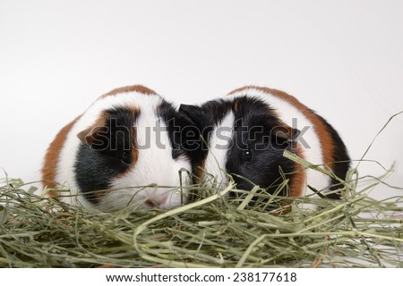 Pair of multi-colored tricolor guinea pigs munching on hay on white background - stock photo