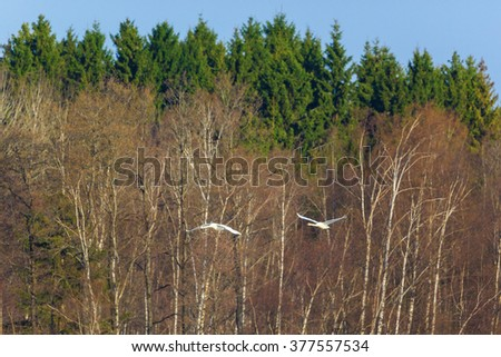 Pair of Mute Swans come flying over the forest