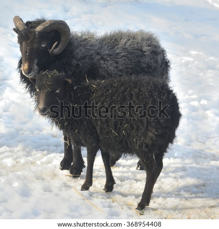 Pair of Ouessant Sheeps (Ovis Aries) on snow  - stock photo