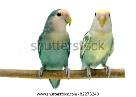 Pair of Peach-faced Lovebirds (Agapornis roseicollis motley clarified blue and blue morphs) on the white background - stock photo