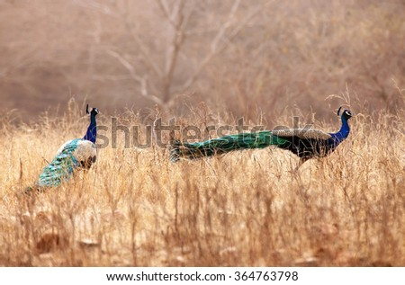 Pair of Peacocks in Ranthambore National Park, Rajasthan, India - stock photo