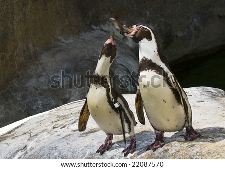 Pair of Penguins catching fish during feeding at Santa Barbara Zoo, CA - stock photo