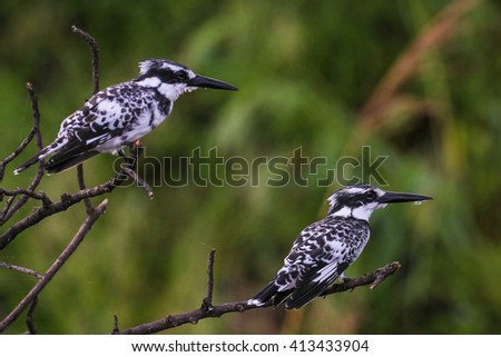 Pair of pied kingfishers sitting on bush while hunting fish