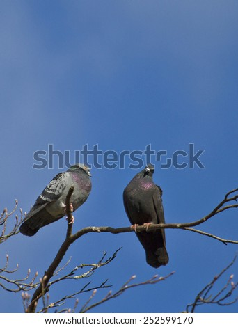 Pair of pigeon on a tree branch  - stock photo