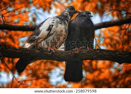Pair of pigeons birds in love - stock photo